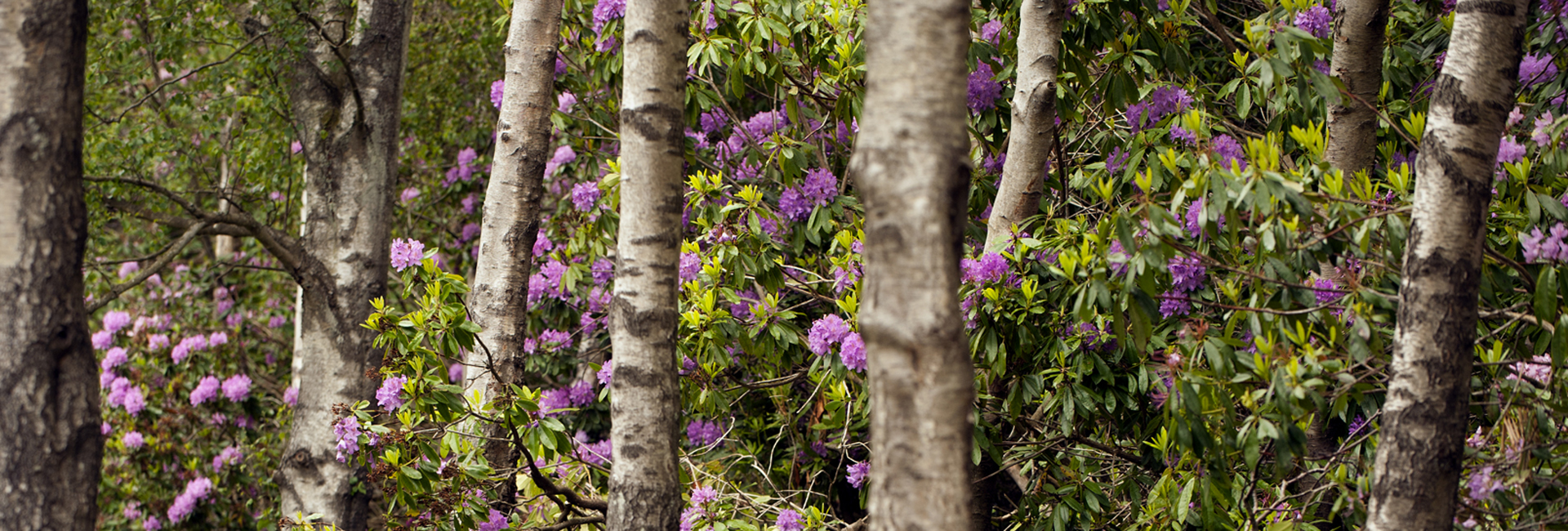 Countryside Walking through the Rhododendrons at Cragside c National Trust Image John Millar
