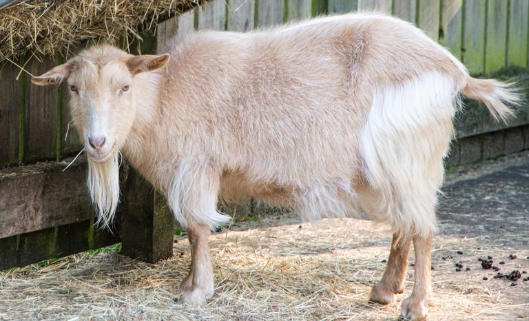 Jesmond Pets Corner goat at pets corner jesmond dene edited 1