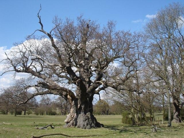 Ancient oak tree in Windsor Great Park