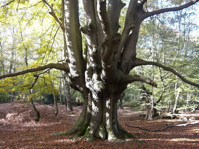 Pollarded tree in Epping Forest