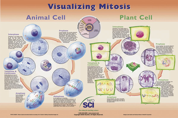 Poster: Visualizing Mitosis (Laminated)