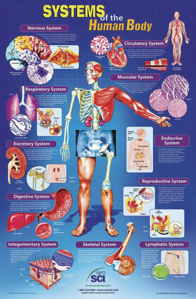 Poster: Systems of The Human Body (Laminated)