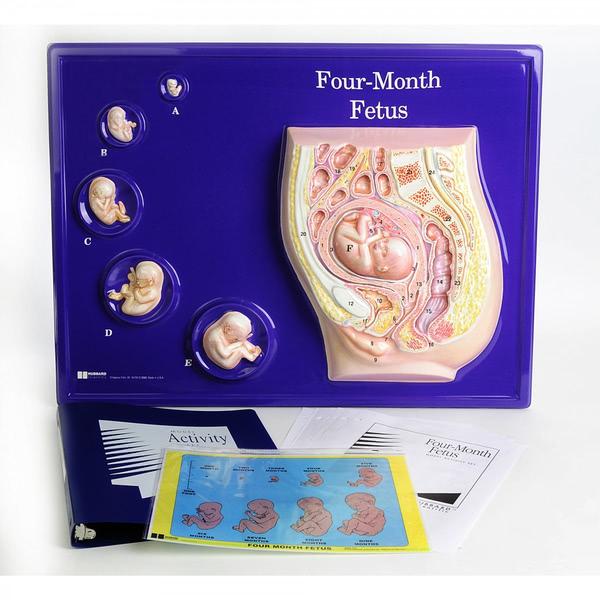 Foetus Model