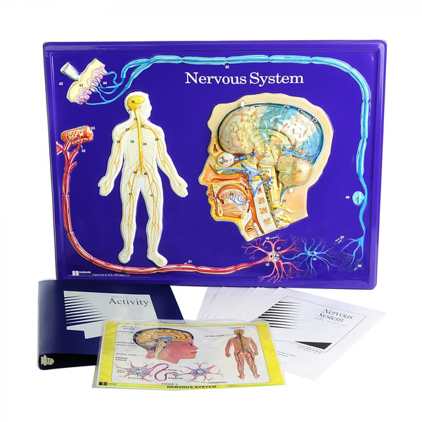 Nervous System Model - Edulab