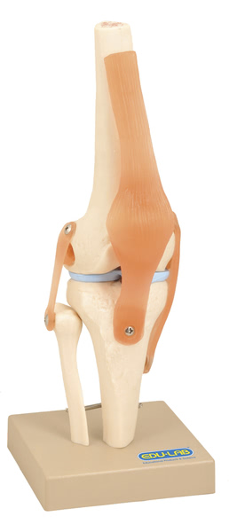 Model: Human Knee Joint - on base