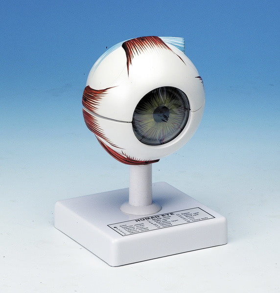 Model: Eye 5 times size - 6 parts