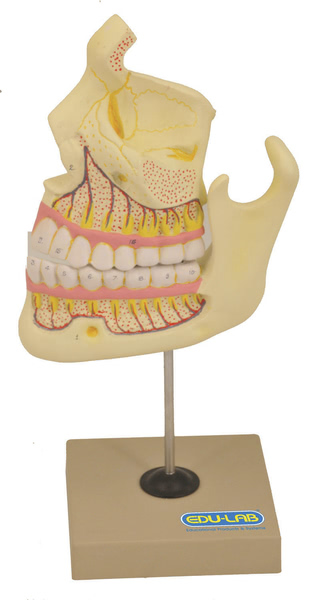 Model: Human Upper & Lower Jaw