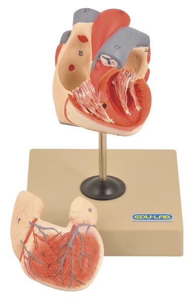 Model: Heart (Human) - 2 parts