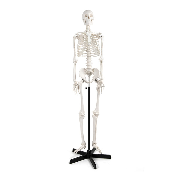 Model Skeleton with Frame