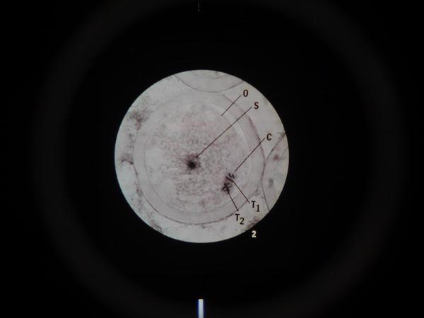Microslide Meiosis (PK15)
