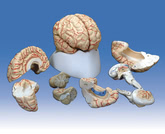 Model: Brain with Arteries - 8 parts