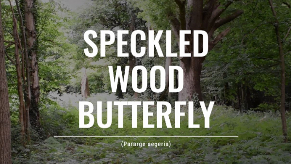 Screen grab of a park safari video, highlighting the speckled wood butterfly