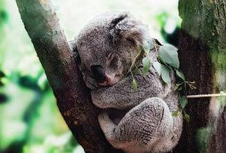 Green Motion Car Rental Charity Fundraising Koala 2020 326x220