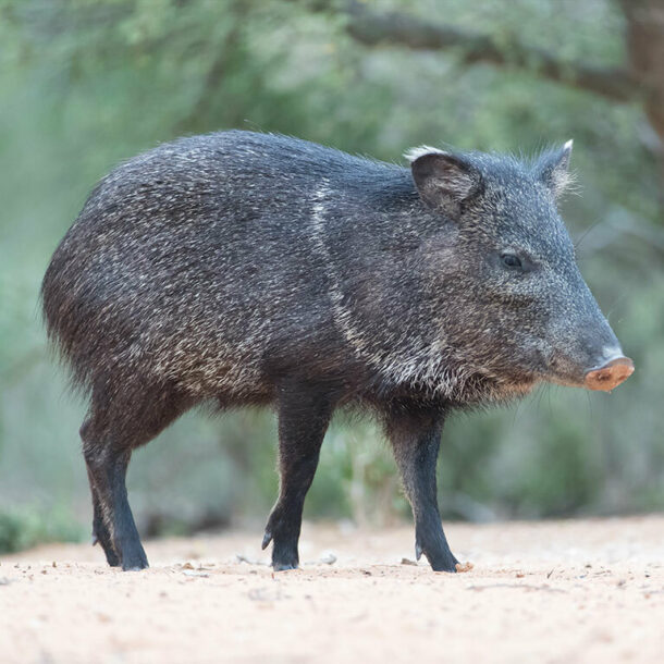 Green Motion Car Rental Collared Peccary 767x767