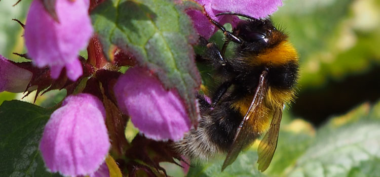 Bumblebee on deadnettle