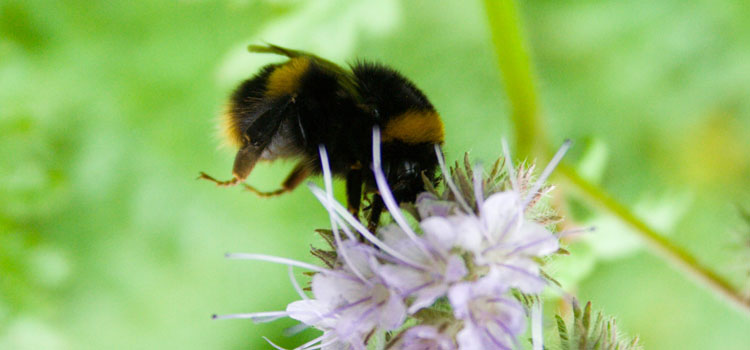 Bumblebee on phacelia