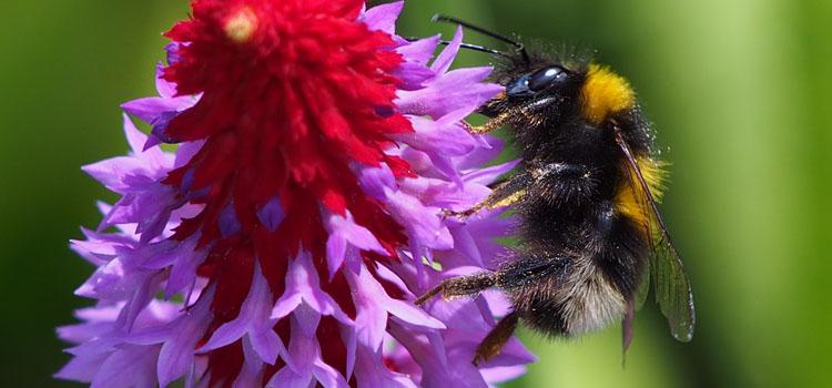 Bumblebee on Primula vialii