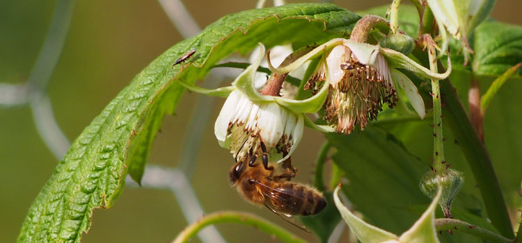 Honeybee pollinating a raspberry flower
