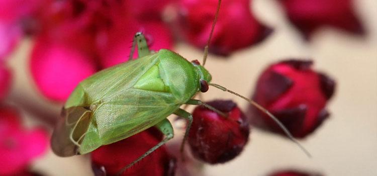 Mirid bug (Apolygus lucorum)
