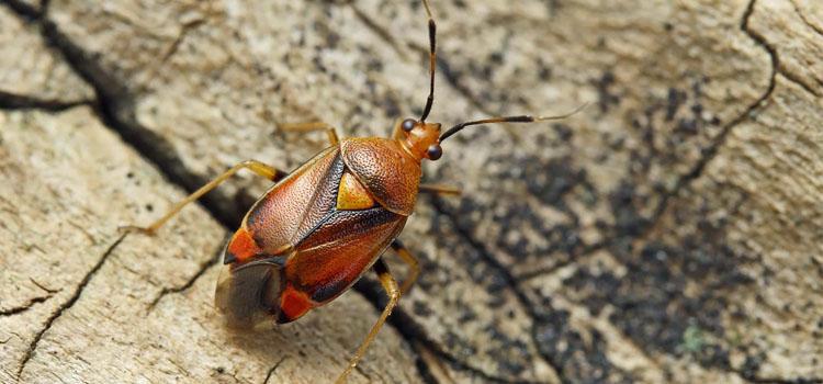 Mirid bug (Deraeocoris rube)