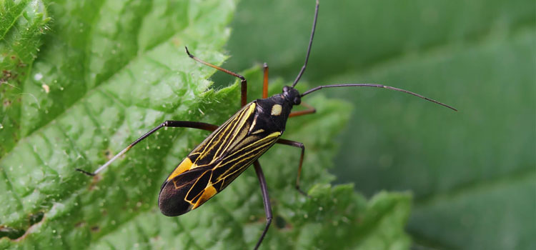 Mirid bug (Miris striatus)