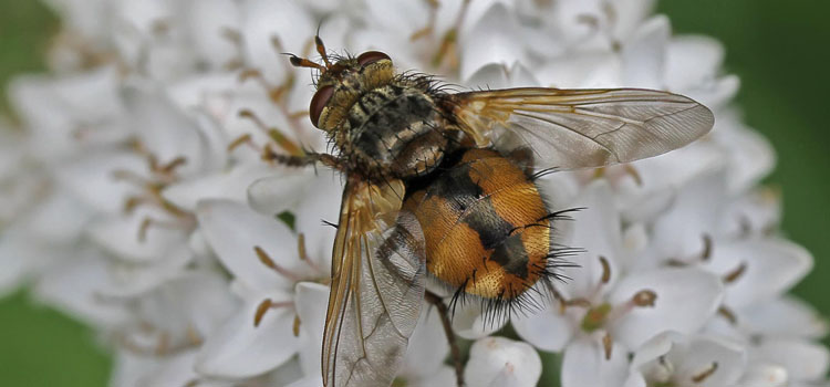 Tachinid fly (Tachina fera)