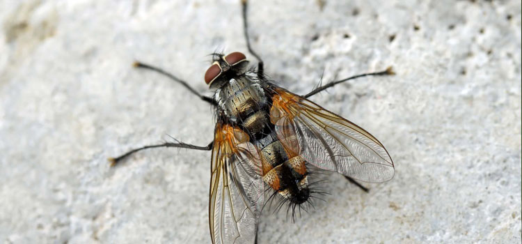 Tachinid fly (Thelaira solivaga)