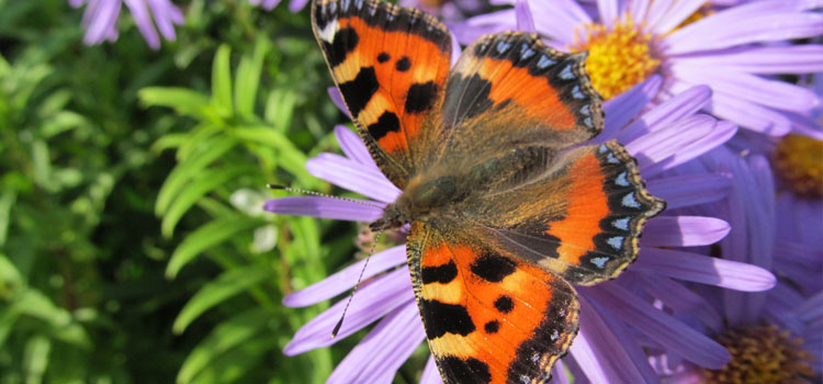 Tortoiseshell butterfly on asters