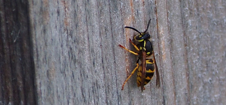 Wasp harvesting wood to make a paper nest