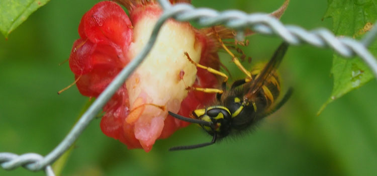 Wasp feeding on a raspberry