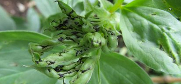 Black bean aphids on broad bean tips