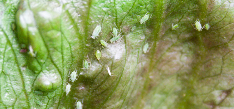 Aphids on lettuce