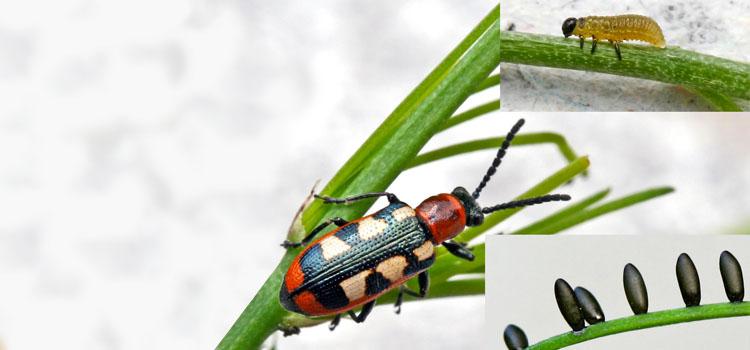 Adult asparagus beetle, eggs and larva