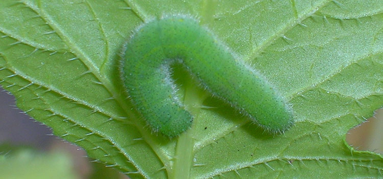Green cabbage worms are the larvae of a cabbage white butterfly