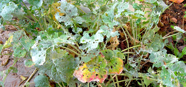 Damage caused by cabbage worm