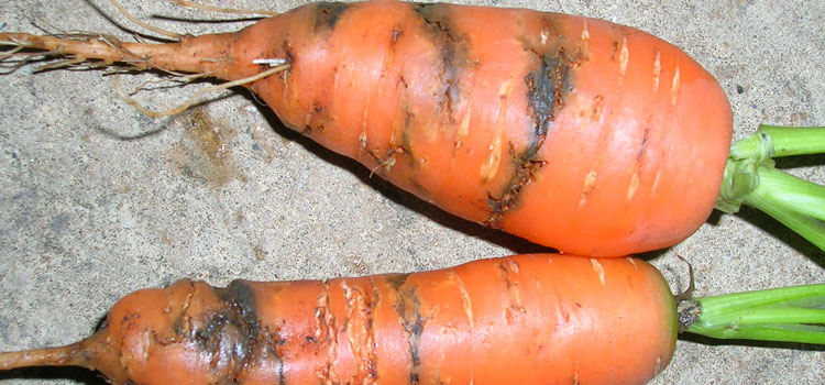 Carrot rust fly larvae leave rusty brown castings on the roots