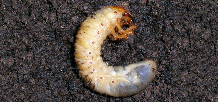 Cockchafer larva live underground
