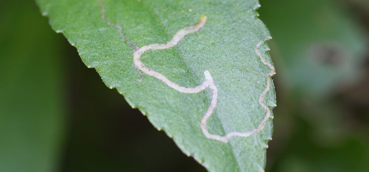 Chrysanthemum leaf miner damage