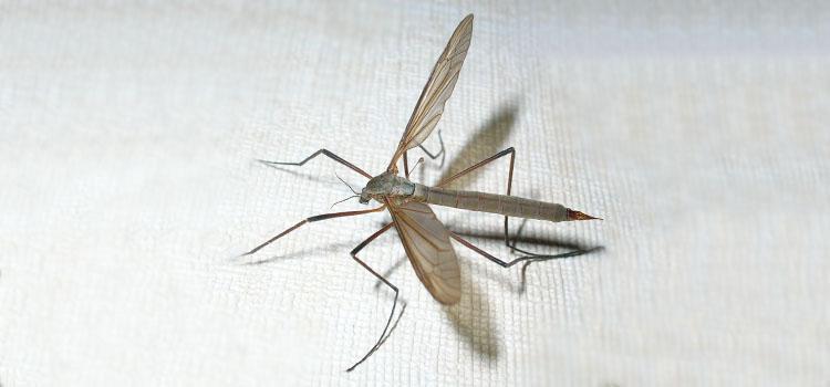 Cranefly (daddy longlegs)