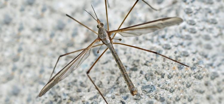 Cranefles (daddy longlegs) lay eggs in lawns and flowerbeds