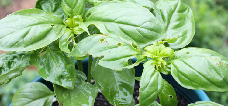 Earwig damage on basil leaves