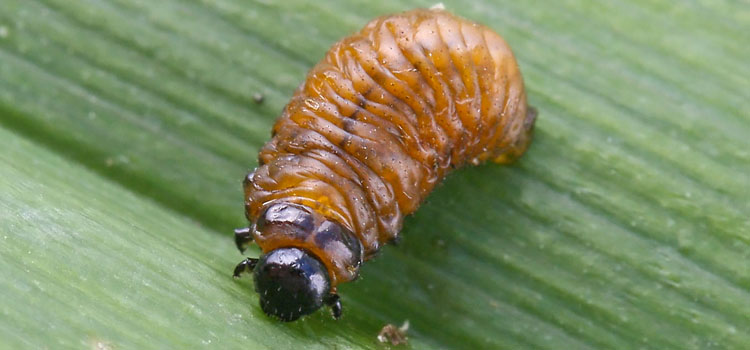 Red lily beetle larva