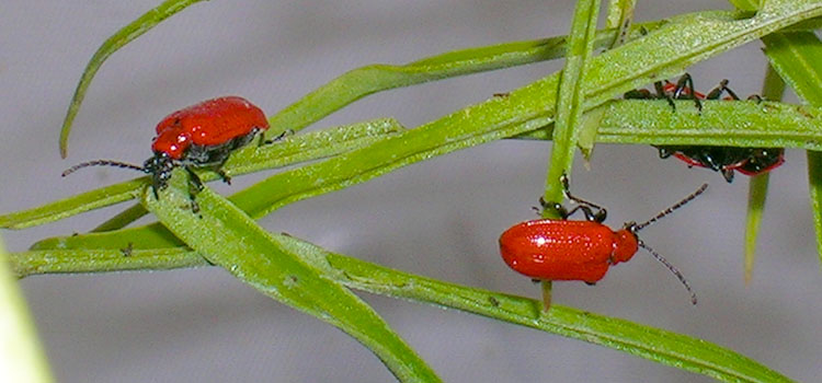 Red lily beetles mate in the spring