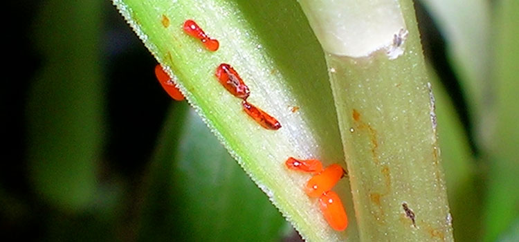 Red lily beetles lay clusters of eggs on the undersides of new leaves