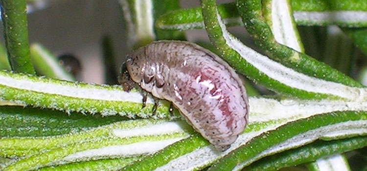 Rosemary leaf beetle larva