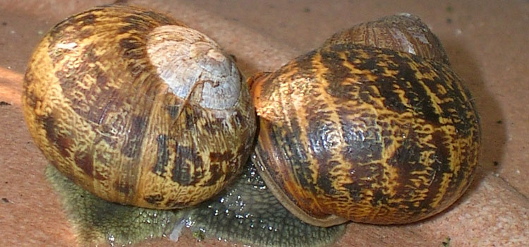Snails mating