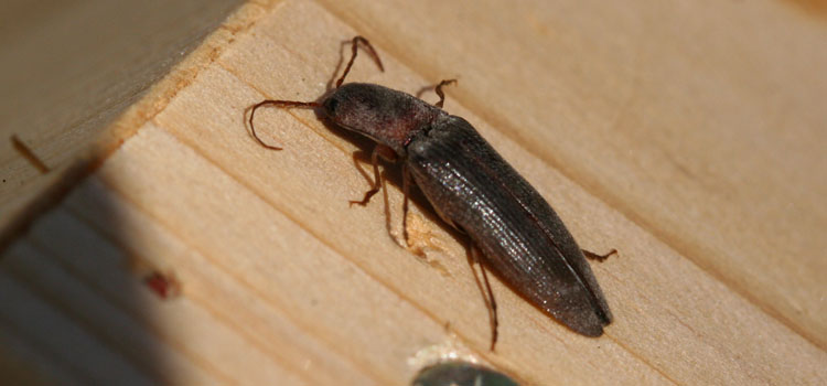 Click beetle (adult wireworm)