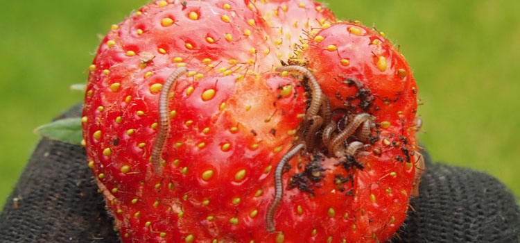 Millipedes feeding on a strawberry