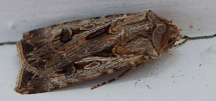Brown cutworm moth