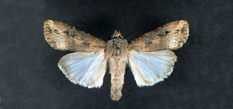 Adult black cutworm